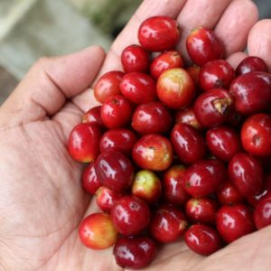 Mayan grown organic coffee solola coffee